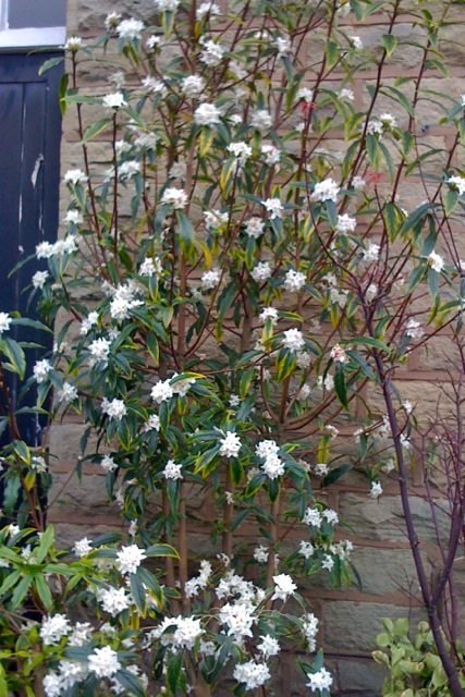 'Lead by the Nose' Viburnum bodnantense is sweetly scented.