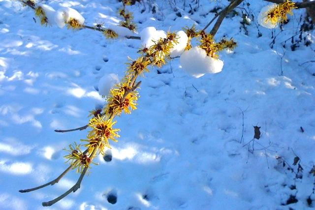 Hamemelis x intermedia 'Pallida' is unmarred by a bit of snow.