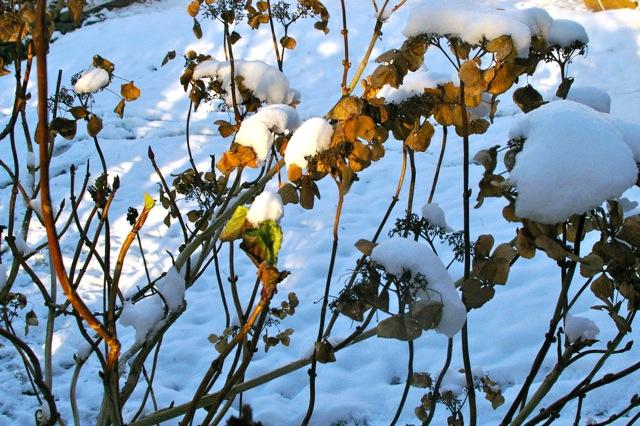 Hydrangeas in the snow.